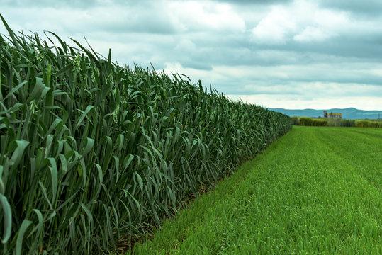 Green oats (Avena sativa) plantation