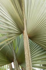 folhas de palmeira latania lontaroides