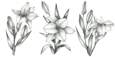 Pencil  drawn lily set isolated on white background. Hand drawn botanical illustration. Lilies bloom.