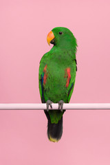 Zelfklevend Fotobehang Papegaai Male green eclectus parrot on a pink background with space for copy