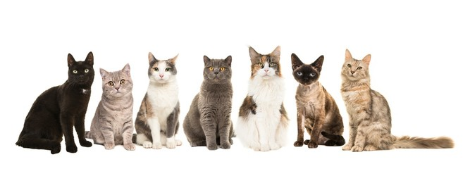 Papiers peints Chat Group of various breeds of cats sitting next to each other looking at the camera on a white background