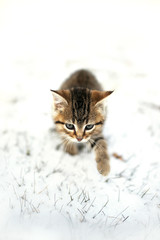 Grey Domestic Shorthair Tabby Cat Kitten Prowling the the Snow