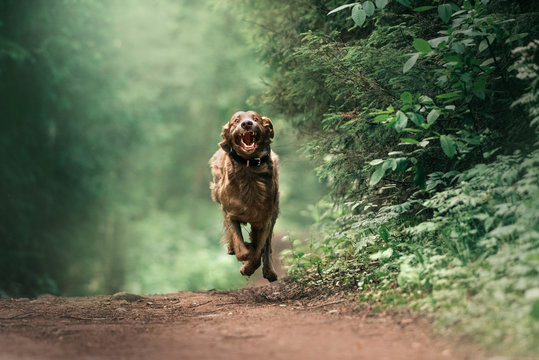 funny weimaraner dog in a collar running in the forest