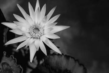 closeup beautiful black and white lotus flower and green leaf in pond, lotus pictures Monochrome, black and white flower background