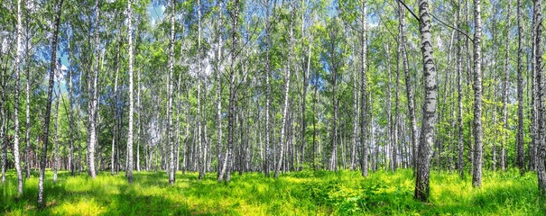 Birch grove on a sunny spring summer day, landscape banner, huge panorama
