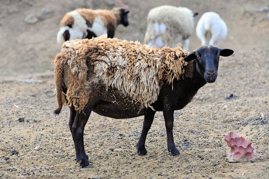 Dorper Sheep are hair sheep. They don't produce a significant amount of wool. They are bred for their meat.