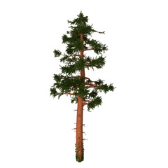 California Red Fir - The Red Fir or Silvertip is a coniferous evergreen pine tree native to Oregon and California in North America.