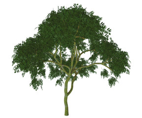 Curry Leaf Tree - Murraya koenigii is a forest tree native to India and the leaves are used in many Indian cuisine dishes.