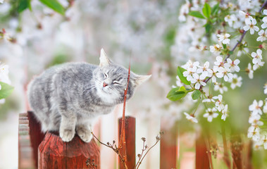 portrait of a cute striped cat sitting in a may Sunny garden under cherry branches with white flowers Fototapete