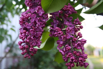 Papiers peints Lilac blooming beautiful lilac in the garden
