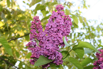 Foto auf Leinwand Flieder blooming beautiful lilac in the garden