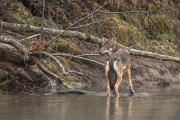Wild Grey Wolf (Canis lupus) in his natural habitat. Carpathians Mountains. Poland Wall mural