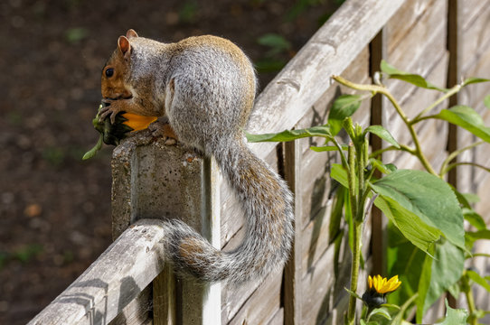 Squirrel eating sunflower in the garden