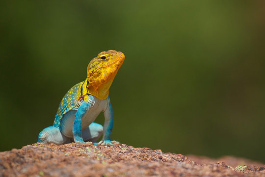 Eastern Collared Lizard ... this is a wild, natural lizard, not a pet
