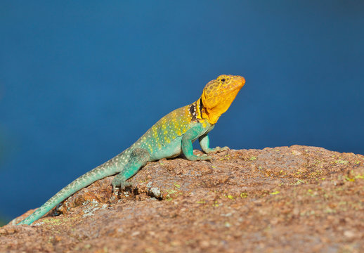 Collared Lizard photographed in the wild in the Wichita Mountains of Oklahoma