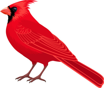 vector Red Male Northern Cardinal - state bird