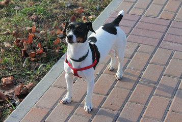 Dog Jack Russell Terrier with black and white color stands on the road in the park.