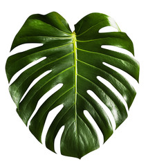 monstera tropical leaf isolated on white
