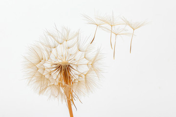 Tuinposter Paardenbloem dandelion and its flying seeds on a white background