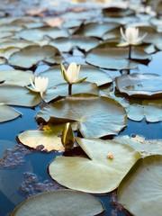 Foto auf AluDibond Wasserlilien water lily in pond