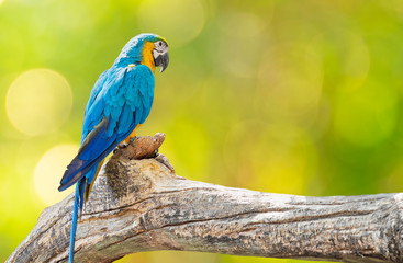 Foto op Plexiglas Papegaai Close up Blue and Gold Macaw Perched on Branch Isolated on Background with Copy Space