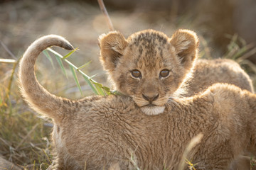 Small African Lion cub, Kruger Park, South Africa