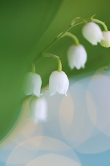 Wall Murals Lily of the valley Lily of the valley close-up on a blue background with bokeh.Spring flowers.Delicate floral background.