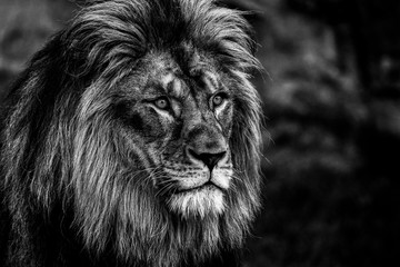 Poster Lion Portrait of a lion in black and white