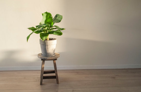 a Musa Acuminata or bananaplant in apartment against white wall. Scandinavian style or interior.