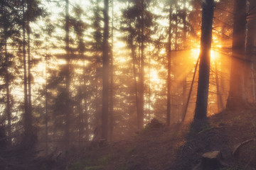 Foto auf Acrylglas Cappuccino Sunlight through the coniferous forest on a foggy spring morning.