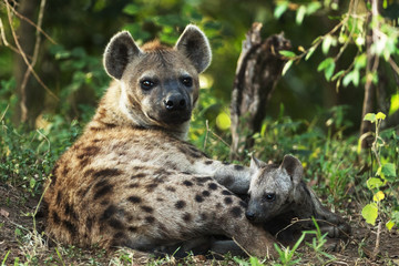a hyena in savannah in kenya