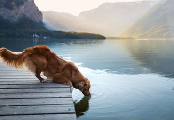 Poster Chien dog on a journey. Nova Scotia retriever by a mountain lake on a wooden bridge. A trip with a pet to nature