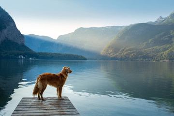 Poster Mountains dog on a journey. Nova Scotia retriever by a mountain lake on a wooden bridge. A trip with a pet to nature
