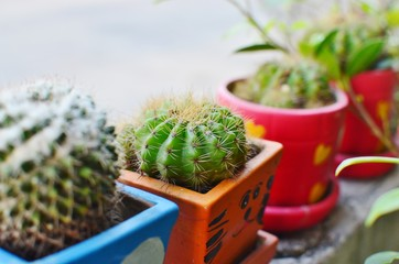 Photo sur Aluminium Cactus cactus in a pot