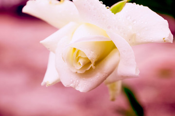 Soft focus, white rose images with a very sweet soft pink background