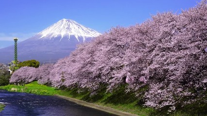 Wall Mural - Beautiful cherry blossoms in spring and fuji mountains in Shizuoka, Japan.