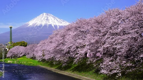 Wall mural Beautiful cherry blossoms in spring and fuji mountains in Shizuoka, Japan.