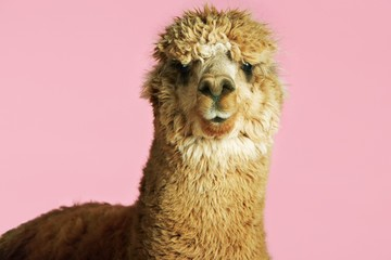 Alpaca On Pink Background Wall mural