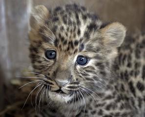 Muzzle of a small Far Eastern leopard
