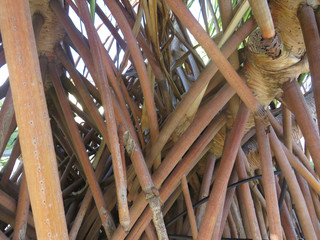 Close up of exposed palm tree roots