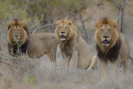 Selective focus shot of three lions sitting near each other while looking at the camera