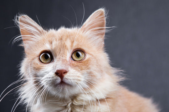 Close up photo of little red cat with yellow eyes looking away, cute and adorable curious kitten on a grey background. Space for text.