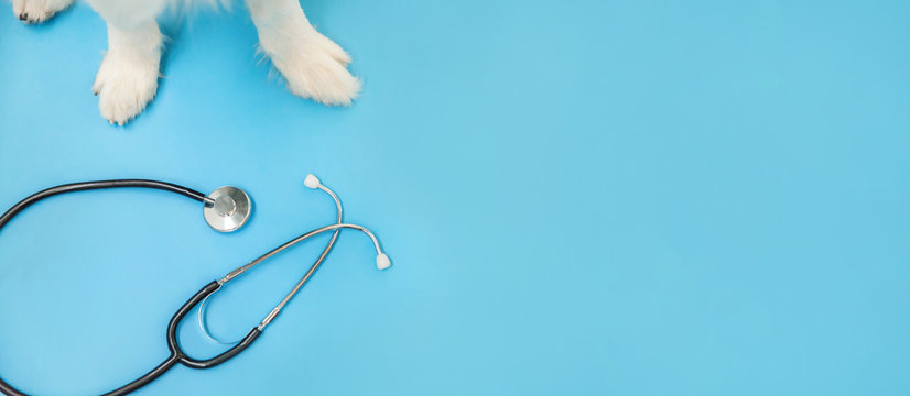 Puppy dog border collie paws and stethoscope isolated on blue background. Little dog on reception at veterinary doctor in vet clinic. Pet health care and animals concept Banner