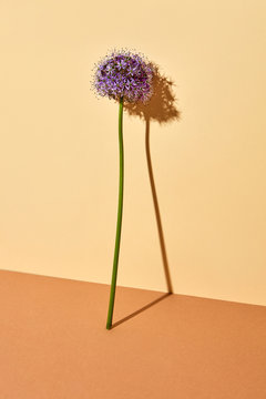 Flower head of Allium Purple on a brown beige background with space for text. Beautiful layout for your ideas.