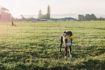 Dog with a frisbee at a fence on a rural property