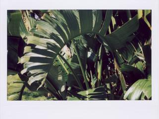 Instant Film Photograph of Lush Green Banana Tree Leaves