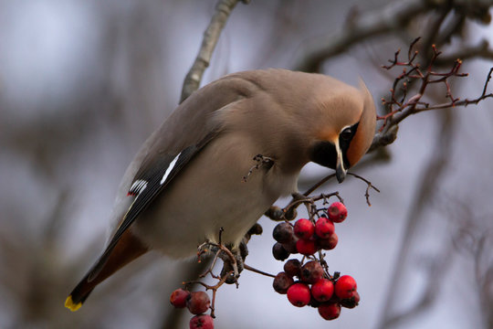 bohemian waxwing (bombycilla garrulus) sitting on a branch and looks at some berries