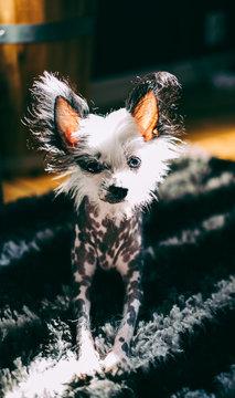 Hairless dog lies on carpet looking at camera