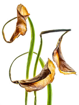 Close up of calla lilies