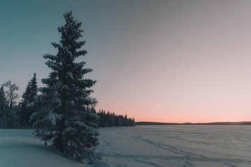 Coniferous tree between field in snow and amazing sky at sunset Fotobehang